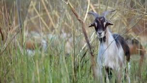 Ziegen aus dem Tierpark Hellabrunn schaffen blühende Landschaften in und um Leipzig
