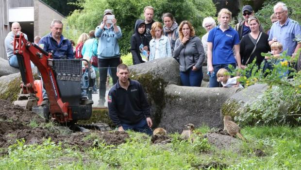 Erdmännchen-Höhlensystem in Burger's Zoo