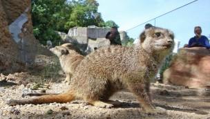 Erdmännchen im Zoo Karlsruhe beziehen neues Gehege mit Wärmeinseln