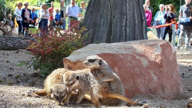 Erdmännchen im Zoo Karlsruhe - Wärmeinsel