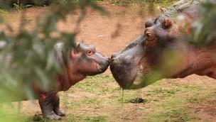 """Flusspferd-Taufe im Erlebnis-Zoo Hannover: Patin wählt Namen """"Pumeza"""""""