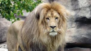 """Neuer Löwe für den Jaderpark: """"Matadi"""" kommt aus dem Leipziger Zoo"""