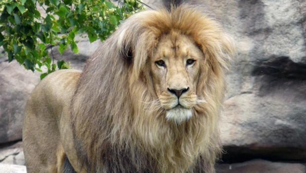 Löwe Matadi aus dem Zoo Leipzig