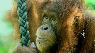 Welt-Orang-Utan-Tag im Tierpark Hellabrunn informiert 2016 am 19. August über die asiatische Affenart