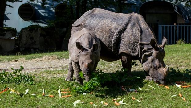 Erster Geburtstag von Panzernashorn-Baby Puri in Hellabrunn