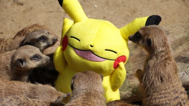 Pikachu zwischen Erdmännchen im Zoo Osnabrück