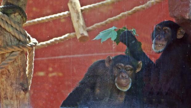 Schimpansendamen ZOOM Erlebniswelt