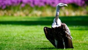 Sperbergeier im Weltvogelpark Walsrode