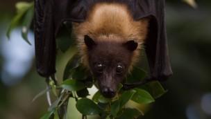 """""""Batnight"""" 2016 im Tierpark Hellabrunn: Wochenende der Fledermäuse für 27. und 28. August angekündigt"""