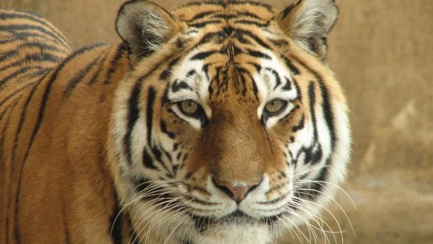 Tiger Natascha im Erlebnis-Zoo Hannover
