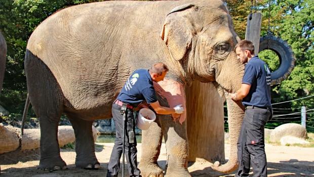 Zoo Karlsruhe - Shanti Elefant - Salbe