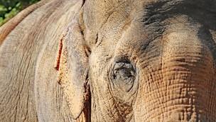 """60 Jahre alte Elefanten-Dame """"Shanti"""" im Zoo Karlsruhe kämpft mit altersbedingten Problemen"""