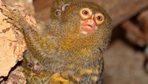 Zwergseidenäffchen-Zwillinge: Kleinste Affen der Welt im Zoo Karlsruhe 2016 mit doppeltem Nachwuchs
