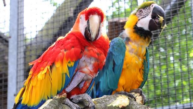 Gelbbrust-Ara im Zoo Karlsruhe - Goudglas und Gojan