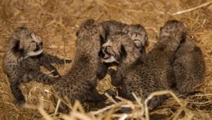 Sechsling-Wurf bei Geparden in Burgers' Zoo: Vielfaches Familienglück 2016 bei den Jagdleoparden