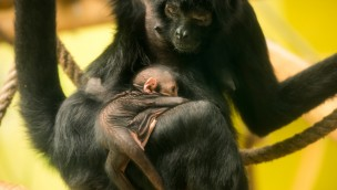 Klammeraffen-Baby im Tierpark Hellabrunn: 2016 kam das zehnte Junge der bedrohten Primaten zur Welt