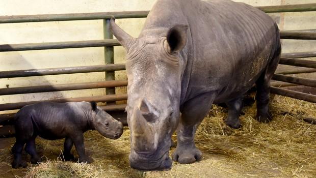 Nashorn-Baby im Serengeti-Park Hodenhagen im September