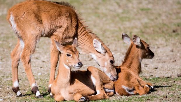 Nilgauantilopen im Tierpark Hellabrunn im Herbst 2016