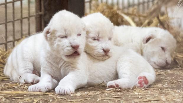 Weiße Löwen Babys im Serengeti-Park 2016