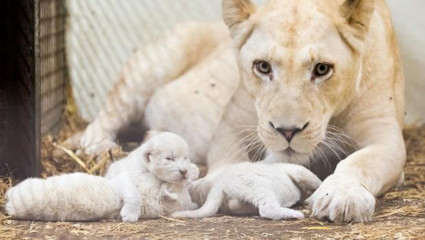 Weiße Löwenbabys im Serengeti-Park Hodenhagen