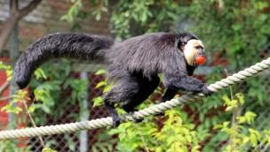 Weißkopfsaki ab sofort im Serengeti-Park zu entdecken: Neue Primatenart eingezogen