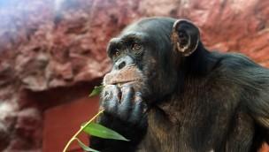 ZOOM Erlebniswelt begrüßt neue Schimpansen Alexandra und Jahaga in seiner Dschungelhalle