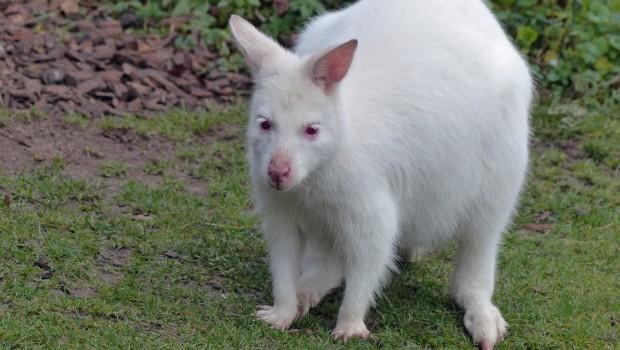 Albino-Känguru Frank im Zoo Karlsruhe