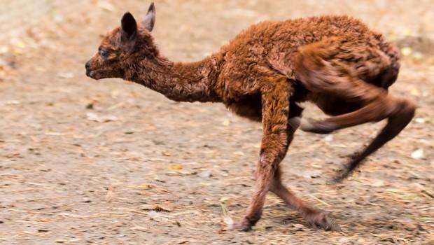 Alpaka Baby - Serengeti-Park Hodenhagen 2016