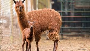 Serengeti-Park freut sich über erste Geburt bei den Alpakas – und das früher als erwartet!