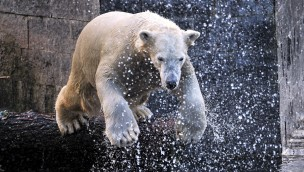 Fiete - Eisbär im Zoo Rostock
