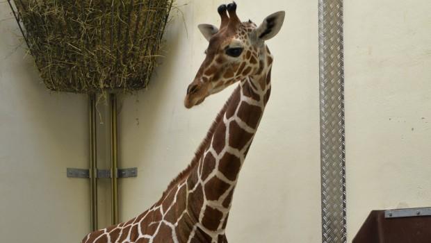 Giraffe Makena im Tierpark Hellabrunn