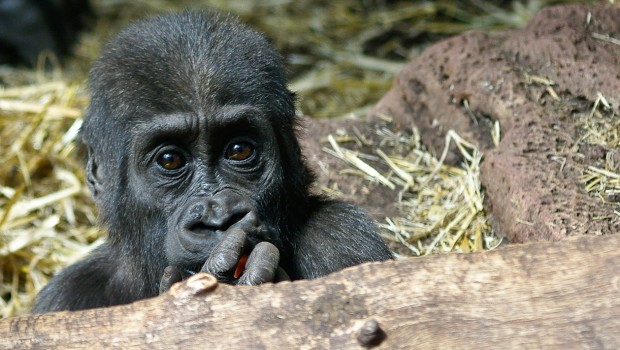 Kwame - Gorilla im Zoo Rostock