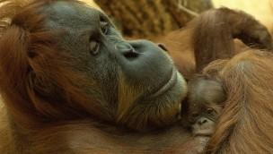 Orang-Utan-Baby in Hellabrunn ist siebtes Mitglied der Orang-Utan-Gruppe im Münchner Tierpark