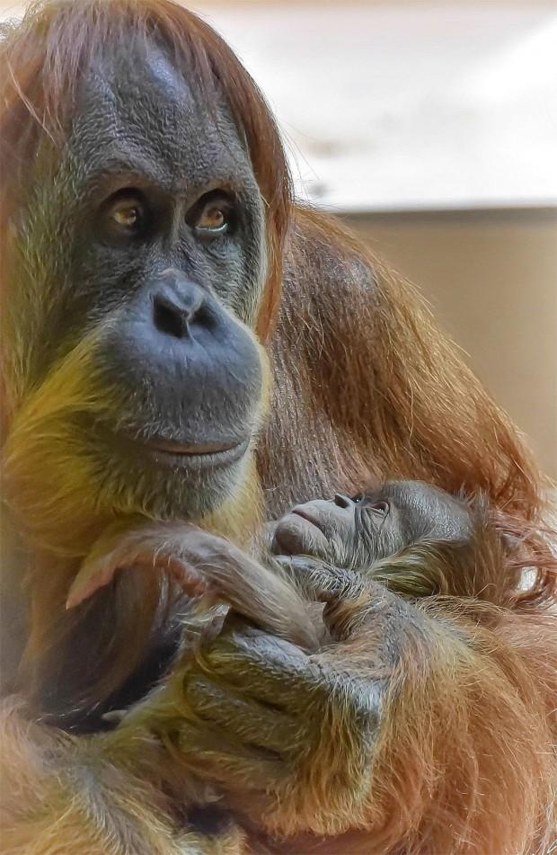 Orang-Utan-Baby Tierpark München 2016
