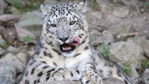 Schneeleopard im Zoo Karlsruhe gestorben, Nachwuchs bei den Rotscheitelmangaben im Affenhaus