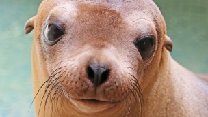 Seelöwe Donna aus dem Zoo Karlsruhe - Umzug nach Wuppertal