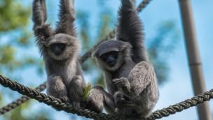 Silbergibbons im Tierpark Hellabrunn klettern