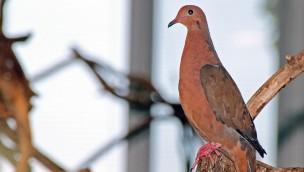 Socorotaube jetzt im Zoo Karlsruhe – eine Rarität: Art im Ursprungsland ausgerottet