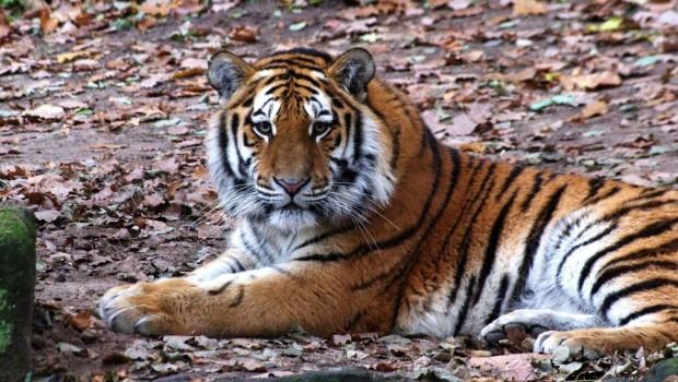 Tiger Aljoscha im Tiergarten Nürnberg