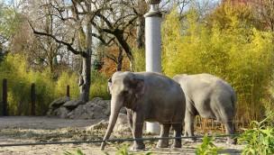 Asiatische Elefanten im Tierpark Hellabrunn auf der Außenanlage