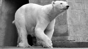 Eisbärin Vilma - Zoo Aalborg - tot