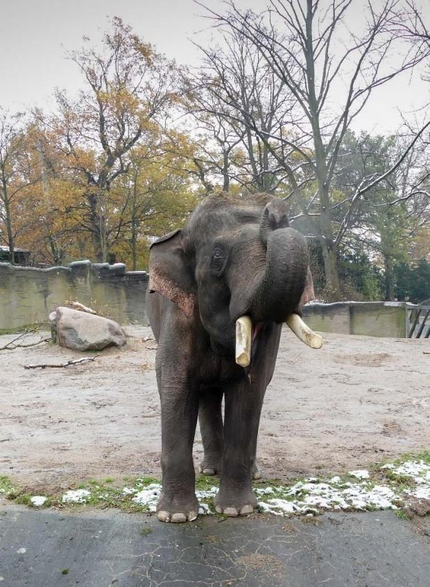 Elefant Gajendra im Tierpark Hagenbeck