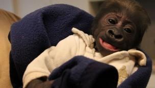 Gorilla-Baby im Erlebnis-Zoo Hannover wird mit Flasche aufgezogen
