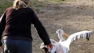 Pelikan-Jagd in der ZOOM Erlebniswelt zum Winterquartier 2016