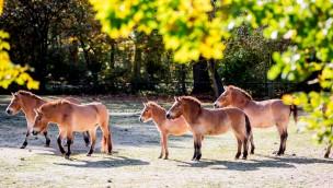 Trampeltiere und Przewalskipferde im Tierpark Hellabrunn teilen sich jetzt eine Anlage