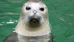 Seehund Dorle - Zoo Karlsruhe - Verabschiedung