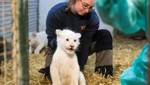 Weiße Löwenbabys im Serengeti-Park: Tierarztcheck und Impfung für seltenen Nachwuchs