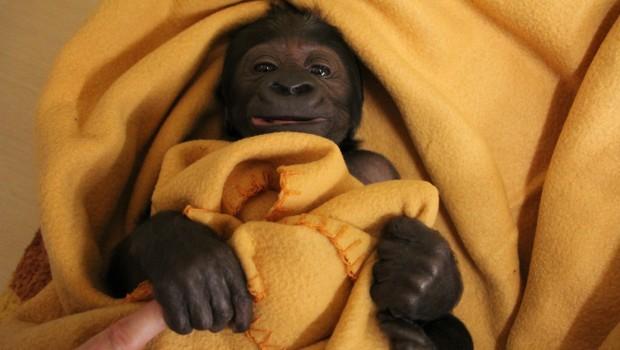 Yanga - Zoo Hannover - Gorilla Baby