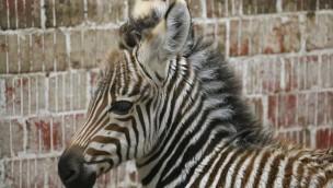 """Zebra-Fohlen in der ZOOM Erlebniswelt: Jungtier auf der Grassavanne in """"Afrika"""""""