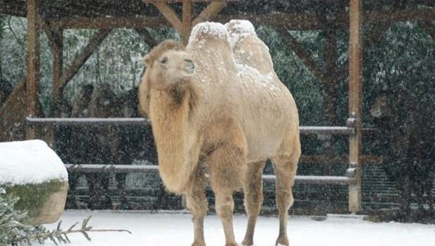 Zoo Frankfurt: Alpakas